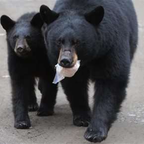 State plans to kill bear family of 5 in Alaska neighborhood