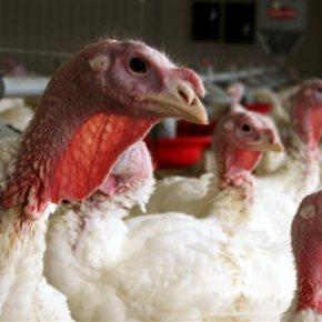 With bird flu spreading, USDA starts on potentialvaccine