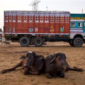 India's die-hard Hindus push to ban beef in blow to poor