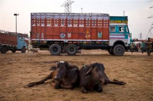 In this April 2, 2015 photo, buffalo calves lie in front of a truck used to transport them at Ghazipur slaughterhouse complex in New Delhi, India. India is the world's second-largest exporter of beef, but with the victory of Prime Minister Narendra Modi's Hindu nationalist Bharatiya Janata Party last year, the industry is facing tougher bans on slaughter.  (AP Photo/Saurabh Das)