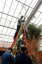 Matthaei Botanical Gardens seasonal horticulturalist Chad Machinski holds the top of an 80-year-old, 20-plus-foot-tall America agave plant as it is cut down on Wednesday, April 8, 2015 in Ann Arbor, Mich. The agave has been in a decline since flowering last year, a development Matthaei Botanical Gardens horticulture manager Mike Palmer  says is normal for the species. (AP Photo/The Ann Arbor News, Melanie Maxwell)