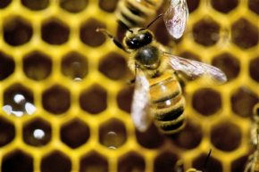 To fight bee decline, Obama proposes more land to feed bees