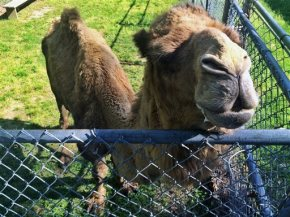 Chesterfield County judge upholds seizure of man's pet camel