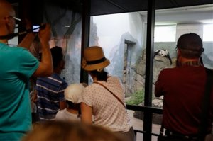 Smithsonian National Zoo visitors take pictures of giant panda Mei Xiang, mother of panda youngster Bao Bao who was born Aug. 23, 2013, as she sleeps in the indoor habitat at the zoo in Washington, Wednesday, Aug. 12, 2015. The zoo says that the hormone levels of its adult female panda were rising, a sign that she might be pregnant. Mei Xiang, one of the two adult giant pandas which arrived here from China on Dec. 6, 2000, has started to show a secondary rise in her urinary progesterone levels since July 20 after she was artificially inseminated on April 26 and 27, the zoo said in a statement.  (AP Photo/Jacquelyn Martin)