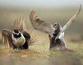 Grouse-Conservation-The Latest. With AP Photos. Q&A: What is a sage grouse and why is the bird imperiled?