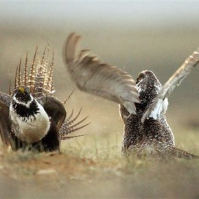 Grouse-Conservation-The Latest. With AP Photos. Q&A: What is a sage grouse and why is the birdimperiled?