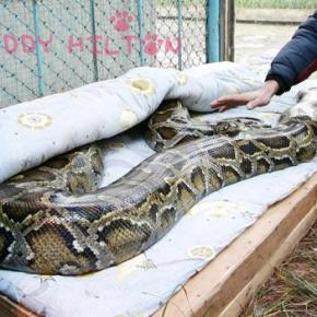 Captive snake with no male companion gives birth _again