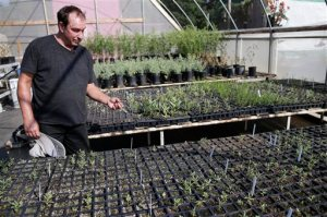 In this Wednesday, Aug. 19, 2015 photo, Tom Merriman stands among native milkweed sprouts at his nursery in Vista, Calif. Five years ago, Merriman didn't sell milkweed at all; this summer, he sold more than 14,000 plants and is shipping truckloads of seedlings all over California and other bone-dry Western states like Arizona, New Mexico and Utah. (AP Photo/Gregory Bull)
