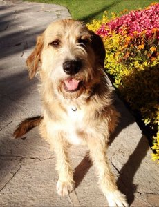 """This Nov. 16, 2013 photo released by Caroline Owen shows Daisy, described as a """"mutt of the best sort"""" by her owner Caroline Owen, in Tequisquiapan, Mexico. A popular dog run in a picturesque Mexico City park remained closed on Oct. 6, 2015, following reported cases of dog poisoning. Owen said she and her husband were aware of reports about dog poisoning around the popular Parque Mexico, located in the Condesa neighborhood, when they were out at night on Oct. 2, 2015 walking their three dogs. She said they were vigilant and kept the dogs on leashes while limiting the walk to the park's perimeter. But at 3 a.m., they awoke to find Daisy convulsing and foaming at the mouth. Owen had her dead pet's body frozen and it is undergoing toxicology tests at a lab at Mexico's national university. (Caroline Owen via AP)"""