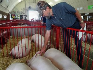 FILE - In this Aug. 13, 2013, file photo, Dr. James Gute looks for signs of illness in a group of pigs at the Steele County Free Fair in Owatonna, Minn. Federal agriculture officials said Wednesday, Sept. 30, 2015, that the virus that killed more than 8 million baby pigs in 2013 and 2014 likely came into the United States on reusable tote bags used in international trade. (Lorna Benson/Minnesota Public Radio via AP, File) MANDATORY CREDIT
