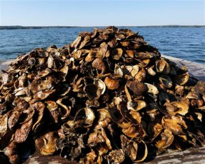 In this photo taken Thursday, Sept. 24, 2015, a  pile of recycled oyster shells from area restaurants are brought to an oyster reef in Great Bay in Newmarket, N.H. A major effort led by the University of New Hampshire is underway to restore the natural oyster population, which has dropped dramatically in recent decades. (AP Photo/Jim Cole)