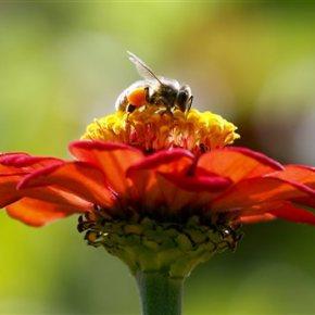 ZomBee Watch helps scientists track honeybeekiller