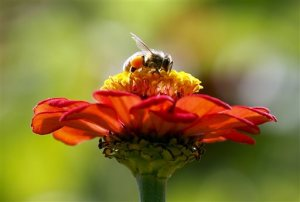 FILE - In this Sept. 1, 2015, file photo, a honeybee works atop gift zinnia in Accord, N.Y. While scientists have documented cases of tiny flies infesting honeybees, causing the bees to lurch and stagger around like zombies before they die, researchers don't know the scope of the problem. Now they are getting help in tracking the honeybee-killing parasite from ZomBee Watch, created in 2012 by John Hafernik, a biology professor at San Francisco State University. (AP Photo/Mike Groll, File)