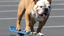 Skateboarding bulldog dies of heart problems
