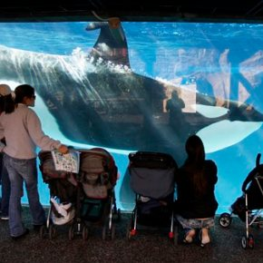 SeaWorld to challenge California ban on orca breeding