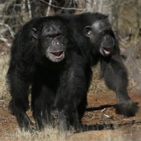 NIH to retire the last of government-owned researchchimps