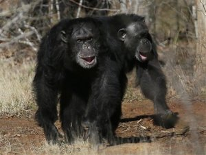 FILE - This Feb. 19, 2013 file photo shows two chimps walking together at Chimp Haven in Keithville, La. The National Institutes of Health is sending its last remaining research chimpanzees into retirement — as soon as a federal sanctuary has room for them. (AP Photo/Gerald Herbert, File)