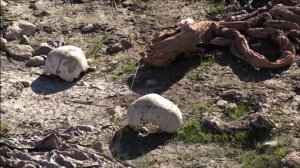 FILE -- In this Sunday, Nov. 22, 2015 file image made from video, skulls remain at the site of a purported mass grave in the city of Sinjar, northern Iraq after it was retaken from Islamic State militants. Iraqi officials said Sunday, Nov. 29, 2015, that three more mass graves have been found in the northern town of Sinjar, where Kurdish forces backed by U.S.-led airstrikes drove out Islamic State militants earlier this month. Two graves have been found east of the town and one has been found within the town itself, bringing the total number of mass graves uncovered to five. (AP Photo via AP video, File)