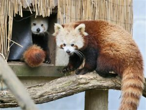 ADDS NAME OF PANDA - In this March 2015 photo, Masala, right, a red panda returns to a shelter as another looks on at Sequoia Park Zoo in Eureka, Calif. Masala disappeared from the zoo sometime between 11 a.m. and 2 p.m. on  Thursday, Nov. 19, 2015. Zoo manager Gretchen Ziegler says that any resident who spots the 1 1/2-year old panda should not approach it, but try not to lose sight of it and call the zoo or police. (Shaun Walker/The Times-Standard via AP)