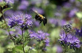 Pesticide-makers point to other culprits in beedie-offs