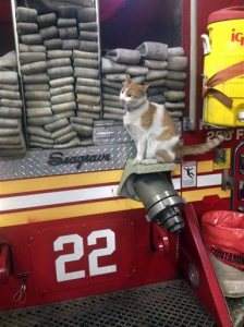 """This photo provided by Lisa Rogak shows Carlow the cat perched on a fire truck in New York. Carlow was found by firefighters of Engine 22, Ladder 13 in upper Manhattan and became their official mascot. He is named him after a bar down the street.  Carlow's job is one of 50 showcased in Lisa Rogak's new book titled """"Cats on the Job."""" (Jessica Mikel Bertolini via AP)"""