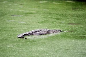 A crocodile swims at a farm owned by the Rosenthal family in San Manuel Cortes, northern Honduras, Wednesday, Nov. 4, 2015. Thousands of crocodiles on the private farm have been poorly fed because of a lack of resources, according to authorities and employees at the property, after the bank accounts of the owners were seized during a probe into accusations they were operating a money laundering network linked to drug trafficking. Farm employees said the animals went without food for more than a month, but were finally fed over the weekend thanks to donations. (AP Photo/Fernando Antonio)