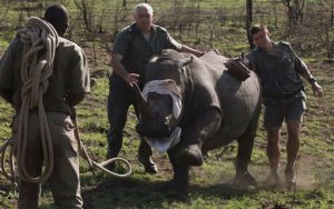 FILE - In this file photo taken Thursday, Nov. 20, 2014 a darted rhino is blind-folded before being grounded for skin and blood samples to be taken, and microchipped, near Skukuza, South Africa, before being transported by truck to an area hopefully safe from poachers in a bid to cut down on the numbers killed by poachers. A South African Judge on Thursday, Nov. 26, 2015, struck down a government ban on the domestic trade in rhino horns, alarming some conservationists who say the decision could intensify the slaughter of the threatened species. (AP Photo/Denis Farrell, File)