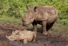 South Africa reports small drop in number of killed rhinos
