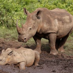 South Africa reports small drop in number of killedrhinos