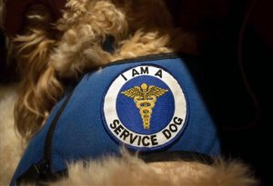 In this Monday, Feb. 8, 2016 photo, Sean McDonough's service dog Bruno wears a patch on its vest identifying it as a service dog, in South Portland, Maine. State lawmakers are debating whether to give people with disabilities the option of obtaining a state-issued patch that can be affixed to their animal's vest. Supporters of the proposal say it will make it easier for businesses to determine who is entitled to a service animal accommodation. (AP Photo/Tom Bell)