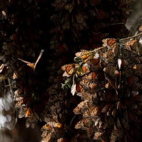 Mexico documents big rebound in monarch butterflies