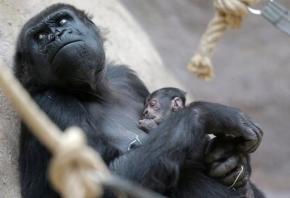 Gorilla gives birth unexpectedly at Praguezoo