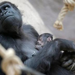 Gorilla gives birth unexpectedly at Prague zoo