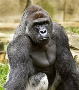 A June 20, 2015 photo provided by the Cincinnati Zoo and Botanical Garden shows Harambe, a western lowland gorilla, who was fatally shot Saturday, May 28, 2016, to protect a 4-year-old boy who had entered its exhibit. (Jeff McCurry/Cincinnati Zoo and Botanical Garden via The Cincinatti Enquirer via AP)
