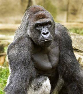The Latest: Police to probe circumstances of gorilla'sdeath