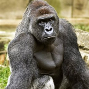 The Latest: Police to probe circumstances of gorilla's death