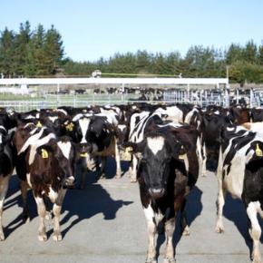 500 cows rustled from New Zealand farm in unusualcase