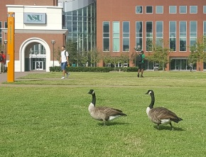 What's up with all the geese?