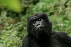 Eastern gorilla gets added to critically endangeredlist