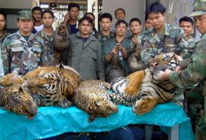 In this Jan. 29, 2008 file photo, Thai Navy officers and forestry officials display dead tigers, leopards and pangolins seized after a raid on an illegal wildlife trade on the bank of Mekong river in That Phanom district of Nakhon Phanom province, northeastern Thailand, when Thai officials seized 6 tigers, 5 leopards and 300 live pangolins bound for Laos. The traders fled the scene across the Mekong river to Laos. Conservation groups say Laos has promised to phase out tiger farms, which could help to curb the illegal trade in the endangered animals' body parts and protect the depleted population of tigers in Asia. The groups say Laotian officials made the announcement in South Africa on Friday, Sept. 23, 2016, one day before the start of a meeting of the Convention on International Trade in Endangered Species of Wild Fauna and Flora, or CITES. Tiger parts are used in traditional medicine in some Asian countries. (AP Photo, File)