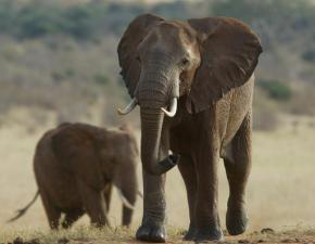 Some elephants learning to avoid dangerous areas: Expert