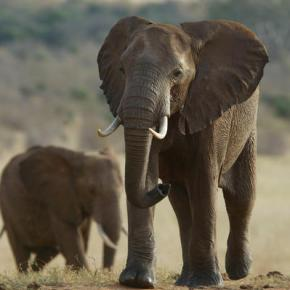 Some elephants learning to avoid dangerous areas:Expert