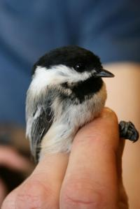 This Sept. 24, 2009, photo provided by the USGS Alaska Science Center shows a black-capped chickadee with a normal beak in Archorage, Alaska. Researchers are hoping they've found what's causing beaks of some bird species to grow twice as fast as normal. The disease is called avian keratin disorder. Affected birds grow beaks that are freakishly long and that sometimes curve up or down. (USGS Alaska Science Center via AP)