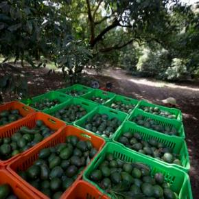Deforestation for avocados much higher than thought