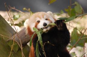 Red panda missing from Norfolk's VirginiaZoo