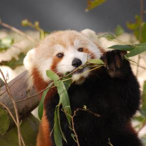 Red panda missing from Norfolk's Virginia Zoo