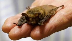 In this Feb. 8, 2017 photo, a northern long-eared bat, is held at the Cleveland Museum of Natural History, in Cleveland. Ohio opponents of a high-pressure natural gas pipeline expected to be built across the northern half of the state are clinging to the wings of a furry flyer, the northern long-eared bat, in their efforts to at least delay the $2 billion project. The existence of the threatened species remains one of the impediments the partnership between Houston-based Spectra Energy and Detroit's DTE Energy face before receiving expected approval to build the 255-mile long NEXUS pipeline capable of transporting 1.5 billion cubic feet of gas per day from the shale fields of Appalachia into Michigan and Ontario, Canada.  (AP Photo/Tony Dejak)