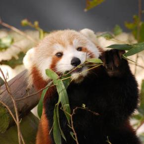 No sign of Sunny: Virginia Zoo still searching for redpanda
