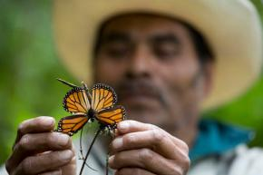 Monarch butterfly numbers drop by 27 percent inMexico
