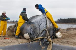Alex Costidis, right, coordinator with the Virginia Aquarium's Stranding Response team, and Kristy Phillips, necropsy manager, center, measure the length of a cut on a juvenile humpback whale before performing a necropsy at Craney Island in Portsmouth, Va., on Friday morning, Feb. 3, 2017. The whale appeared to have been struck by a large propeller, and found dead near the Hampton Road Bridge-Tunnel. On the left is Jennifer Keen, a volunteer, recording the findings. (The' N. Pham/The Virginian-Pilot via AP)